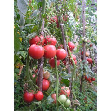 Томат Победа F1 семена томата Элитный ряд [ индетерминантный, ранний] - купить, цена в Супермаркет Семян