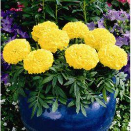 Эквинокс лимонный семена бархатцев (Hem Zaden ПН)