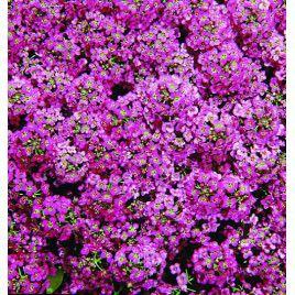 Прозрачные кристаллы семена алиссума (лобулярии, каменника) пурпурного дражированные однол. (Pan American СДБ)