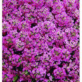 Прозрачные кристаллы пурпурные семена алиссума (лобулярии, каменника) дражированные однол. (Pan American СДБ) НЕТ ТОВАРА
