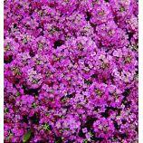 Алиссум Прозрачные кристаллы пурпурные (фиолетовые)