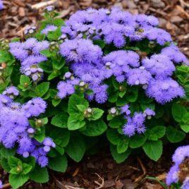 Принц Блу семена агератума (Prince Blue) (Kitano Seeds)