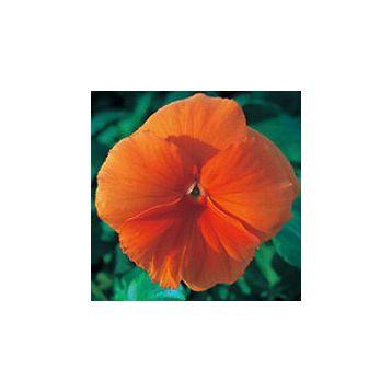 Династия Orange семена фиалки (Kitano Seeds)