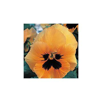 Династия Orange Blotch семена фиалки (Kitano Seeds)