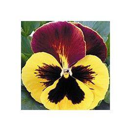 Династия Red Wing семена фиалки (Kitano Seeds)