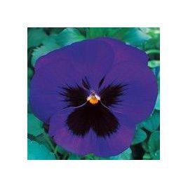 Династия Blue Blotch семена фиалки (Kitano Seeds)