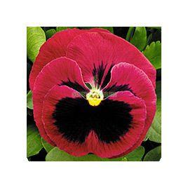 Династия Rose Blotch семена фиалки (Kitano Seeds)