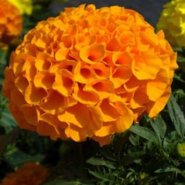 Чикаго Оранж (Chicago Orange) семена бархатцев американских (Kitano Seeds)