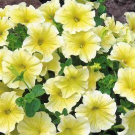Амфора Йелоу (Amphora Yellow) семена петунии многоцветковой дражированные (Kitano Seeds)