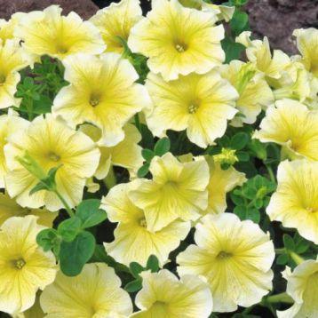 Петуния Амфора Yellow (желтая)