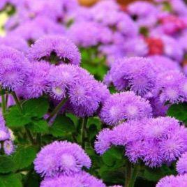 Мексиканский агератум фиолетовый семена (Moravoseed)