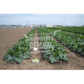 Кавили F1 семена кабачка раннего 38-40дн. бело-зеленого (Bayer Nunhems)