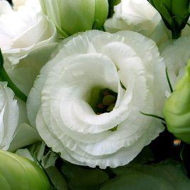 АВС 3 F1 семена эустомы махровой белой дражированные (Pan American СДБ)