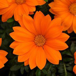 Нью Дей F1 оранжевый семена газании крупноцветковой (Pan American)