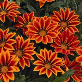 Кисс F1 оранж флейм семена газании (Syngenta)
