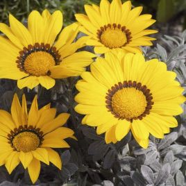 Фрости Кисс F1 семена газании желтой (Syngenta)
