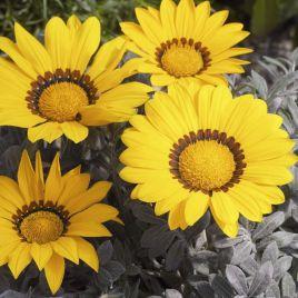 Фрости Кисс F1 желтый семена газании (Syngenta)