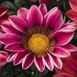 Кисс F1 семена газании розовой (Syngenta)
