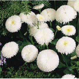 Маргаритка помпоновидная белая семена (Moravoseed)