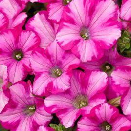 Амфора Raspberry семена петунии многоцветковой дражированые (Kitano Seeds)