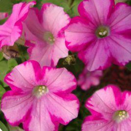 Амфора Распбери (Amphora Raspberry) семена петунии многоцветковой дражированные (Kitano Seeds)