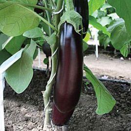 Максик F1 семена баклажана раннего 90-95 дн. 180-200 гр. (Семко)