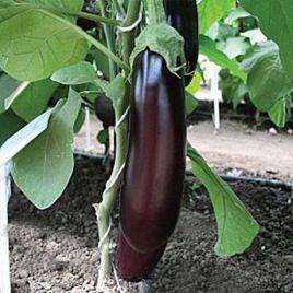 Максик F1 семена баклажана раннего 90-95 дн. 180-200 гр. 25 см удл.цил. (Семко) НЕТ ТОВАРА