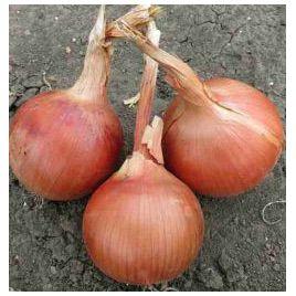 Сандра F1 (Амбрадор F1) семена лука репчатого среднего 115-120 дн. (Cora Seeds)