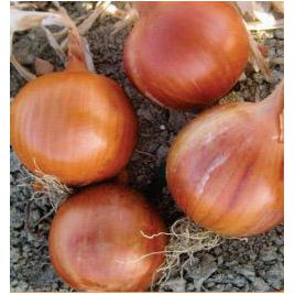 Соня F1 (Халифер F1) семена лука репчатого среднего 115-120 дн. (Cora Seeds)
