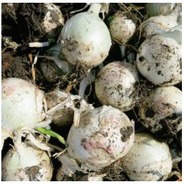 Вайт Опера F1 семена лука репчатого среднего 112-118 дн. (Cora Seeds)
