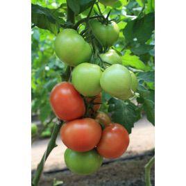 Ралли F1 Organic семена томата индет. раннего окр. 190-210г (Enza Zaden/Vitalis)
