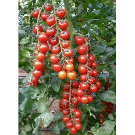 Сакура F1 Organic семена томата индет. раннего черри 22-25 гр. (Enza Zaden/Vitalis)