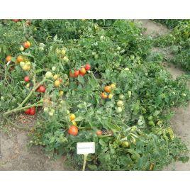 Гваделетте F1 семена томата дет. раннего 57-62 дн. слив 60-70г (Seminis)