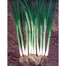 Японская семена лука (Hortus)