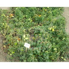 Хайпил 108 F1 (Hypeel 108 F1) семена томата дет. среднераннего 100-105 дн. слив. 85-90г (Seminis)