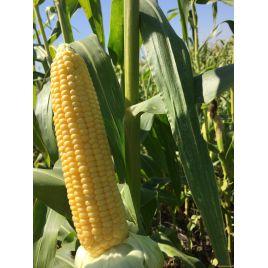 Багратіон F1 насіння кукурудзи цукрової Se 74-78дн. 20см 19-21р. (Мнагор)