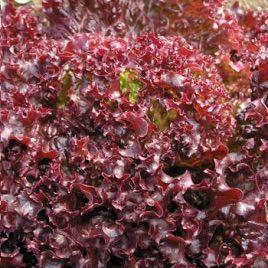 Лея Organic насіння салату тип Лолло Росса (Enza Zaden/Vitalis)