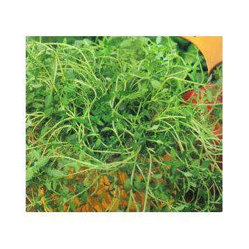 Тимьян ползучий семена (GL Seeds)