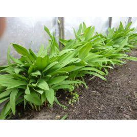 Черемша семена дикого чеснока (GL Seeds)