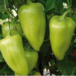 Сенатор F1 семена перца сладкого тип Венгерский раннего 90-105 дн. конич. 150-180гр. 6-9мм зел./красн. (Solare Sementi)