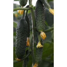 ТС 17-0311 F1 (TS 17-0311 F1) семена огурца партенокарп. раннего 11-13 см (Solare Sementi)