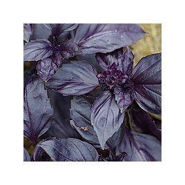 Блек Найт семена базилика фиолетового (Solare Sementi)
