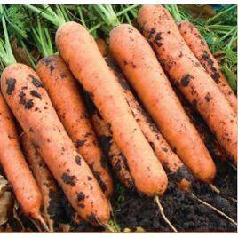 Викинг F1 семена моркови Шантане среднепоздней (Integra)
