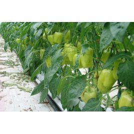 Ведрана F1 Organic семена перца сладкого раннего 70-75 дн. желт./красн. (Enza Zaden/Vitalis)