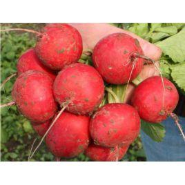 Селеста F1 Organic семена редиса раннего (Enza Zaden/Vitalis)
