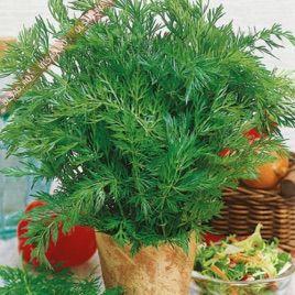 Тмин Аппетитный семена (GL Seeds)