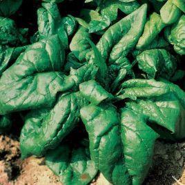 Кинг семена шпината заострен. (NongWoo Bio)