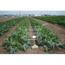 Сангрум F1 семена кабачка среднераннего 42-44дн. бело-салатового (Nunhems) СНЯТО С ПРОИЗВОДСТВА