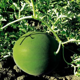 Блейк F1 семена арбуза тип Шуга Бейби 62-68 дн. 6-10 кг (Erste Zaden)