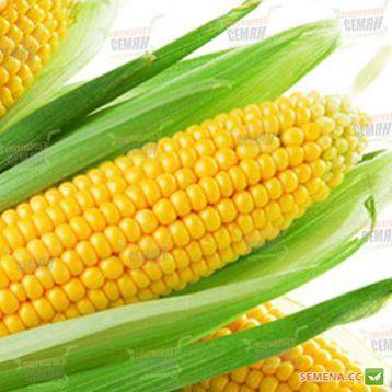 Юрмала F1 семена кукурузы сахарной Sh2 73-75дн. 22см 16-18р. (Мнагор)